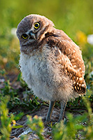 A young owlet tilts his head in curiosity in Badlands National Park, South Dakota. - South Dakota Wildlife Photograph