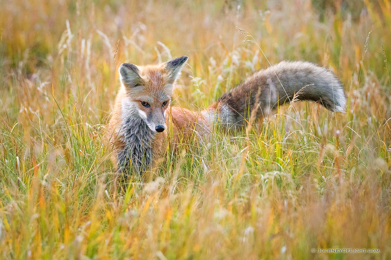 A red fox searches through the tall grass for his next meal in the Kawuneeche Valley of western Rocky Mountain National Park, Colorado. - Colorado Picture