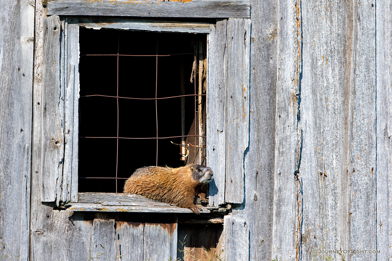 A wildlife photograph of a marmot sunning itself on an old shed in the Blacks Hills area of South Dakota. - South Dakota Picture