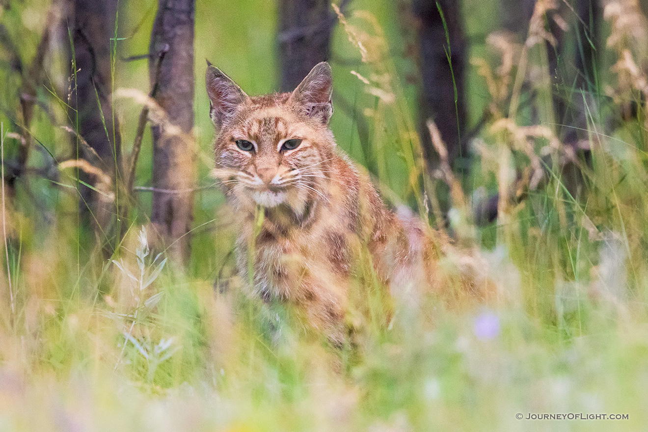 A wildlife photograph of a bobcat hiding in the grass at Custer State Park in the South Dakota Black Hills. - South Dakota Picture