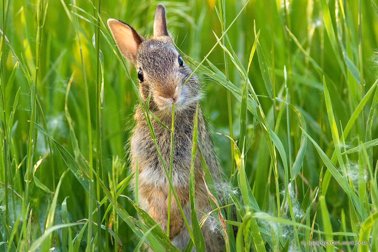 A photograph of a bunny rabbit chewing on grass in a field in rural Nebraska. - Nebraska Picture