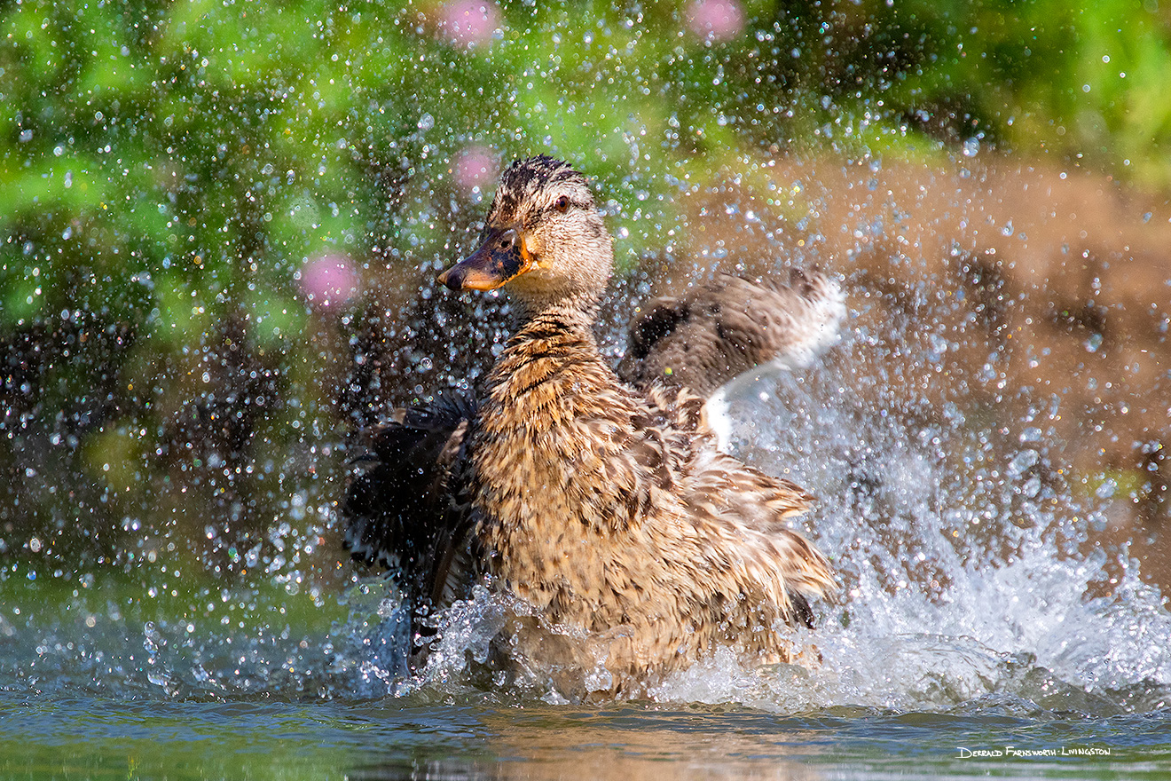 A wildlife photograph of a duck cooling off in Sarpy County, Nebraska. - Nebraska Picture
