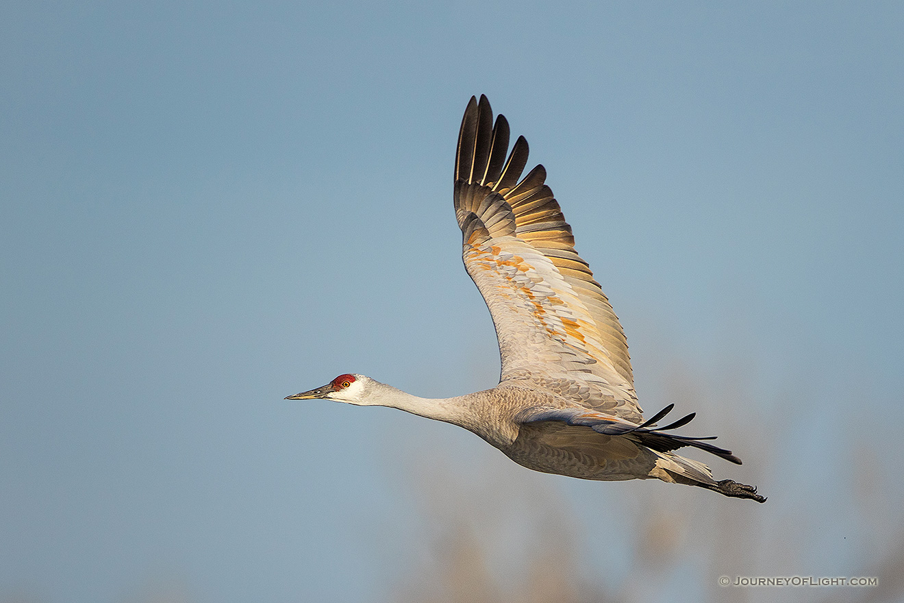 A Sandhill Crane turns toward the sun above the Platte River in Central Nebraska in the warm morning light. - Sandhill Cranes Picture