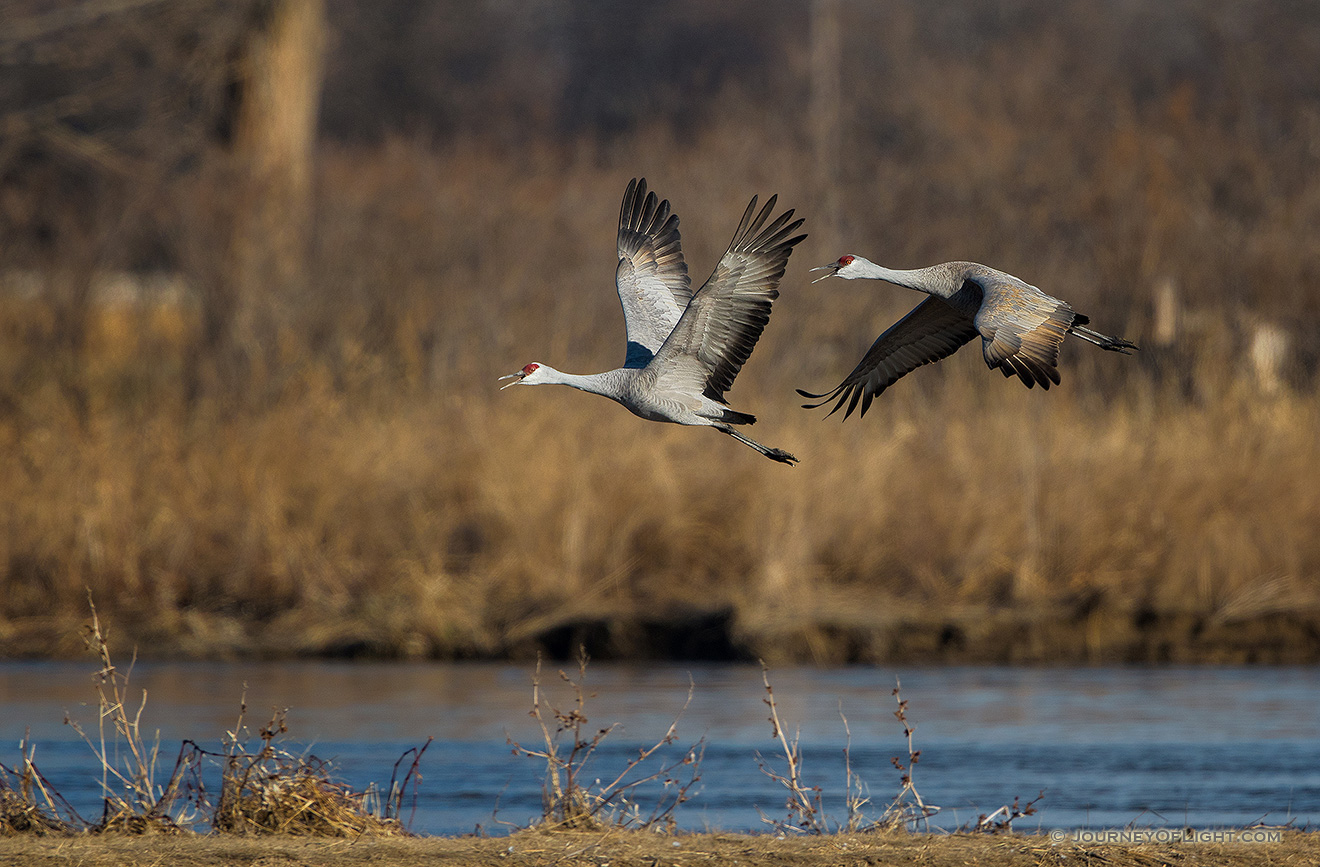 Two Sandhill Cranes take off from the Platte River. Each February through April hundreds of thousands of cranes migrate through the Platte River Valley in central Nebraska. - Sandhill Cranes Picture