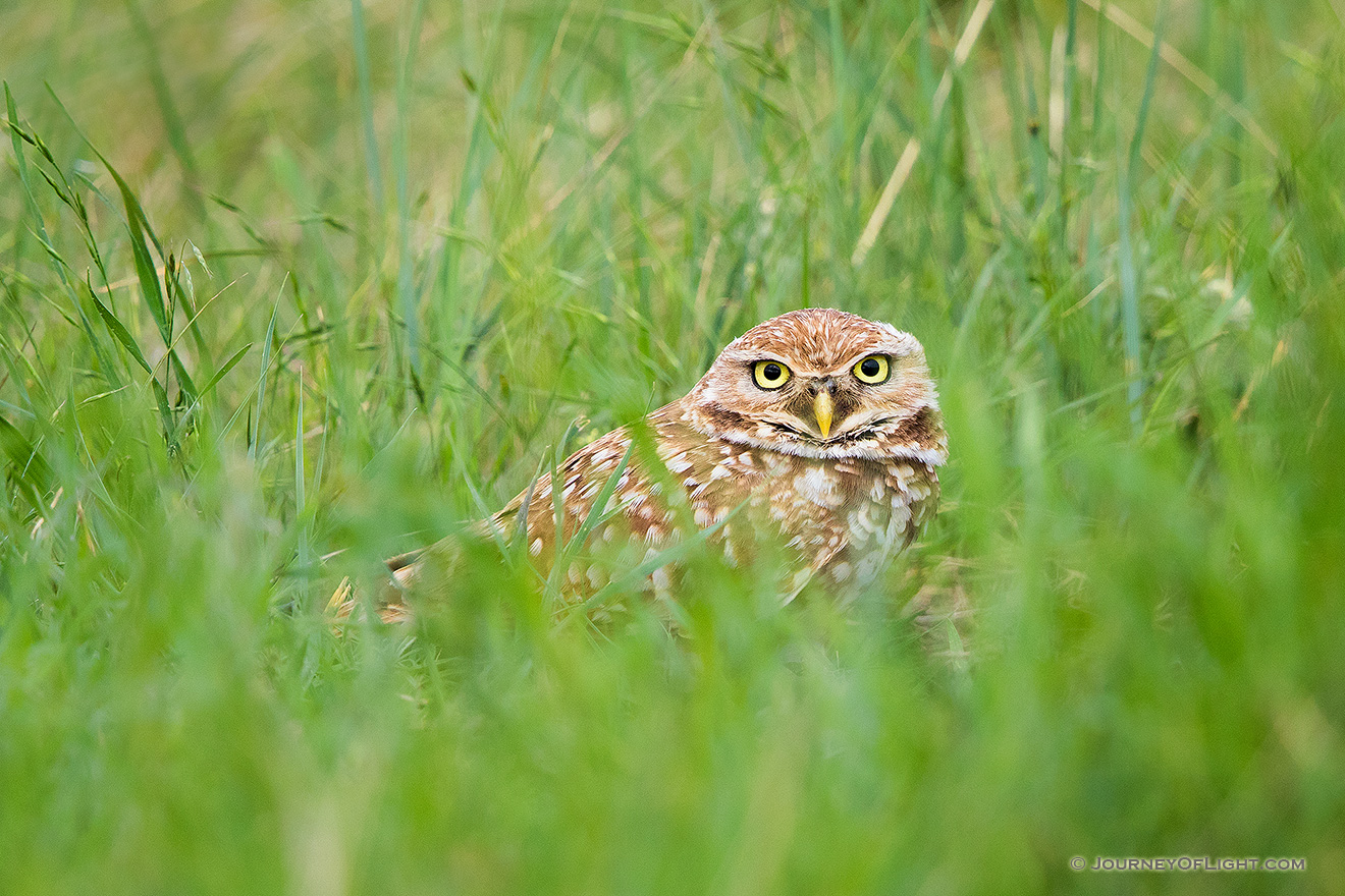 An adult burrowing owl watches from his burrow on the Oglala Grasslands in western Nebraska. - Nebraska,Animals Picture