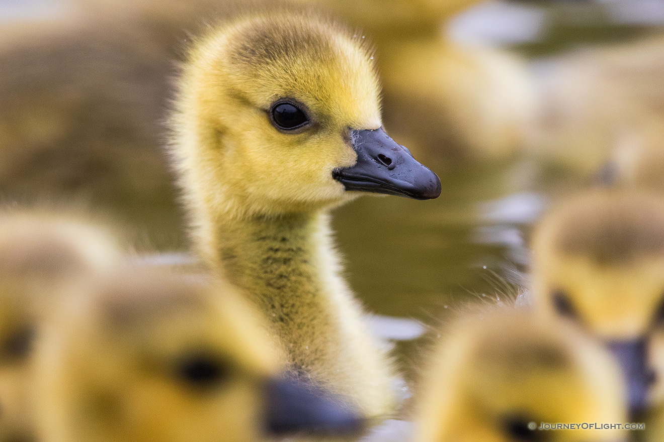 A curious gosling pokes his head up as a group swim by at the ponds at Schramm Park State Recreation Area. - Schramm SRA Picture