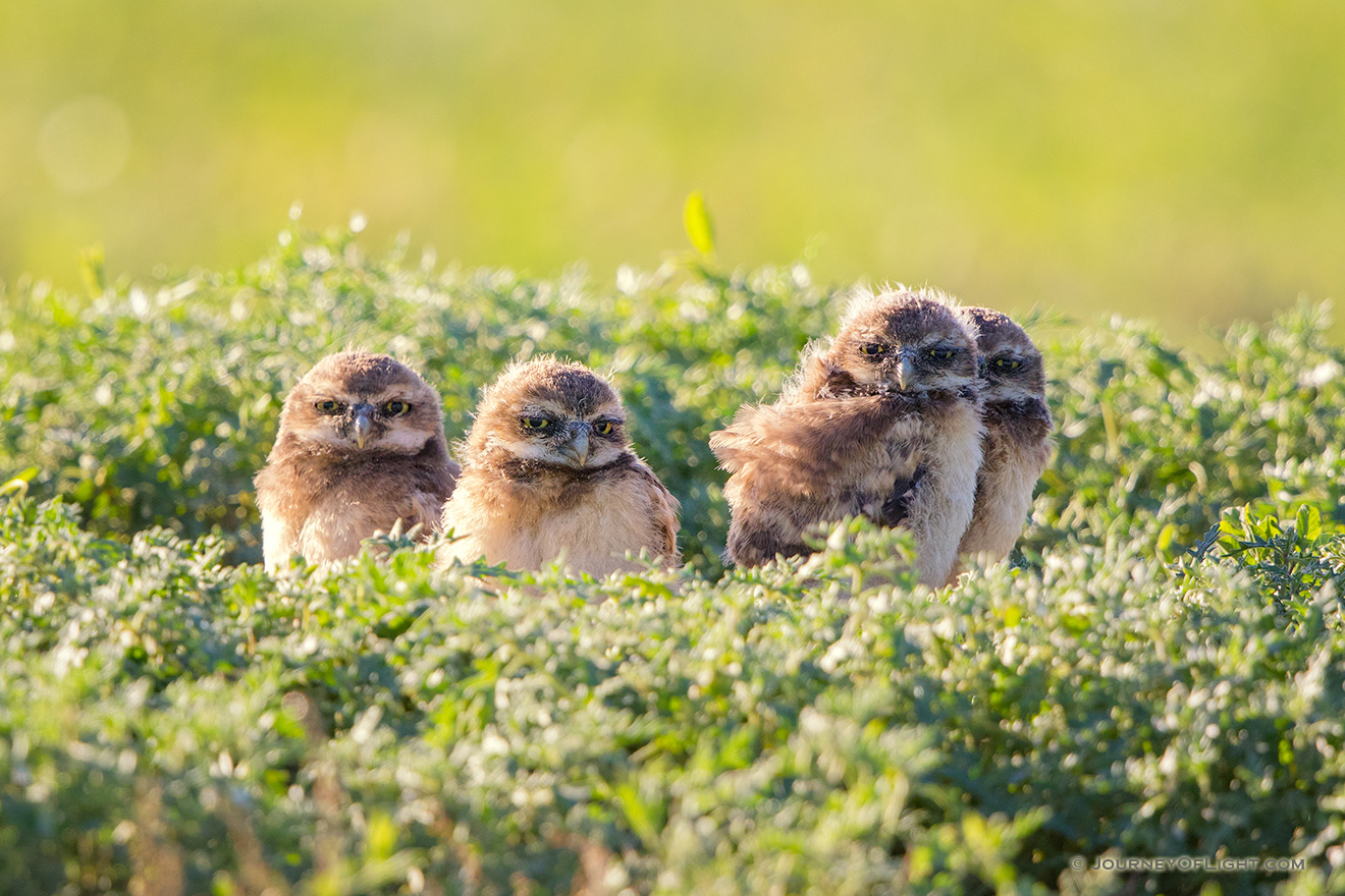 Four burrowing owl chicks at the Badlands National Park, South Dakota. - South Dakota Picture