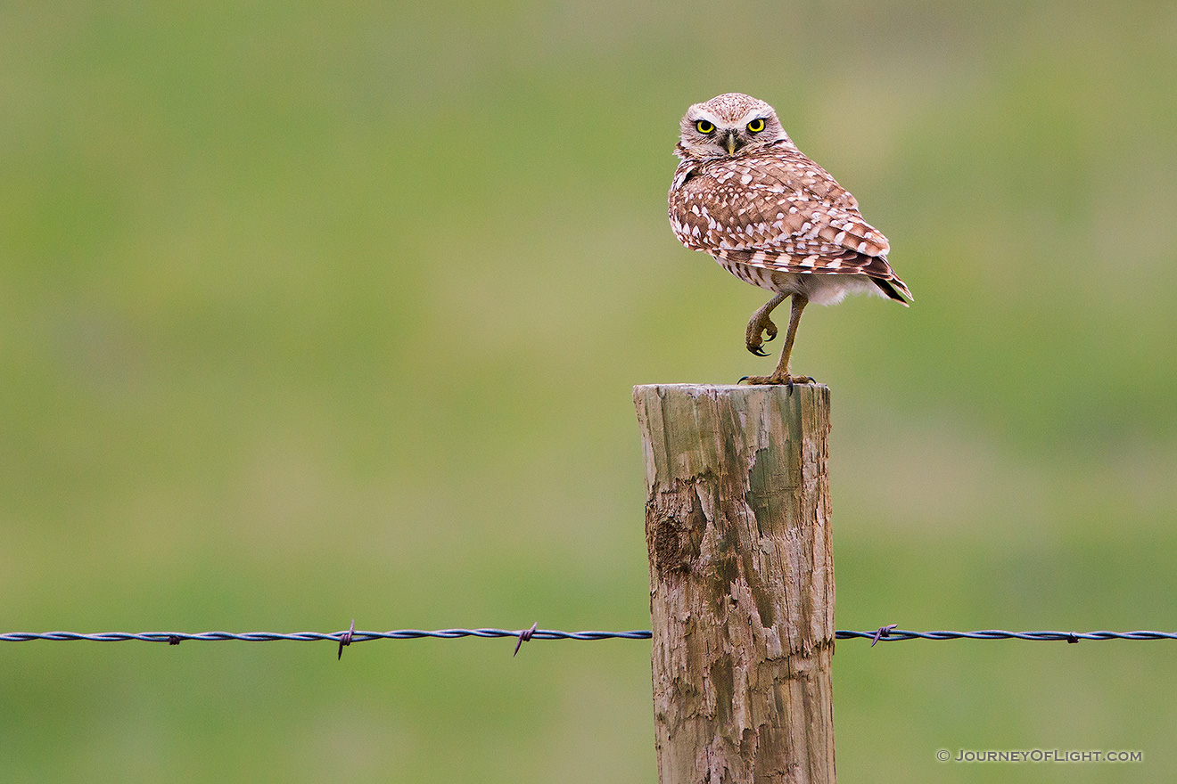A burrowing owl watches from a fencepost near his burrow in the Sandhills of Nebraska. - Crescent Lake National Wildlife Refuge Picture