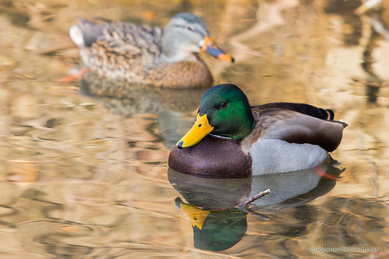 Two Mallards swim in the ponds at Schramm State Recreation Area. - Schramm SRA Picture