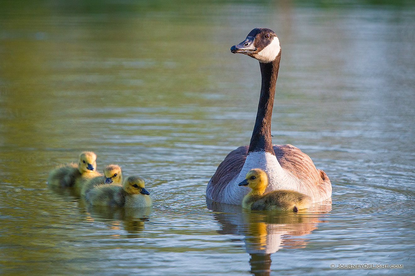 A gaggle of newly hatched goslings swim with their mother in one of the ponds at Schramm Park State Recreation Area. - Schramm SRA Picture
