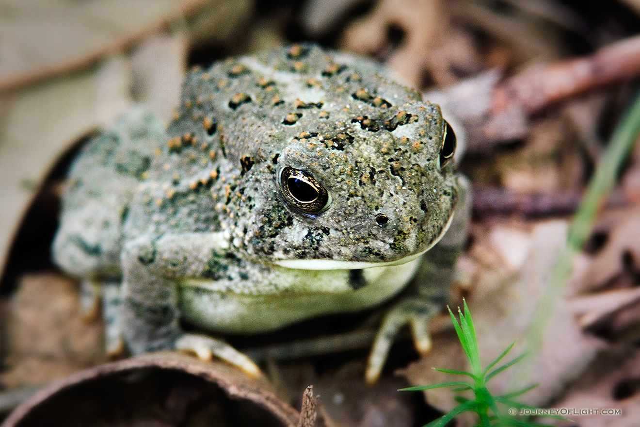 A Woodhouse's Toad, almost blending into the background, rests on the forest floor at Schramm State Recreation Area, Nebraska. - Schramm SRA Picture