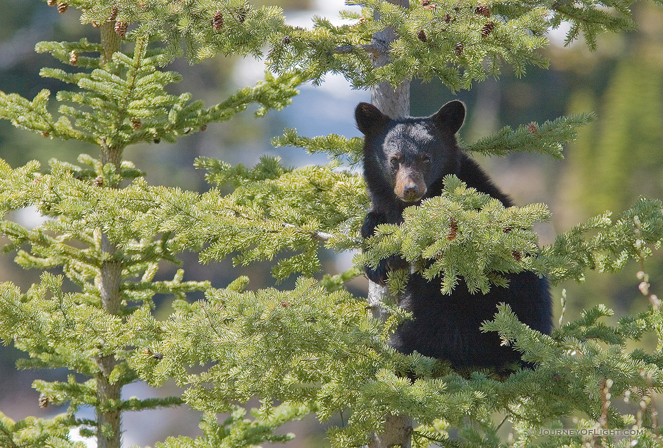 A Black Bear cub hangs on tightly to a pine tree, his mother not far below him keeping watch. - Canada Picture