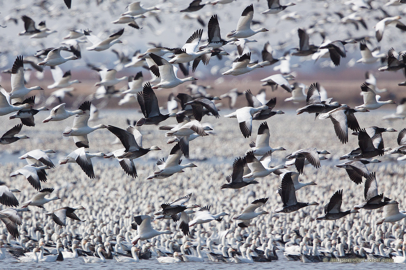 A group of snow geese take to the sky at Squaw Creek National Wildlife Refuge in Missouri.  There were over 1 million birds on the lake on this day. - Squaw Creek NWR Picture