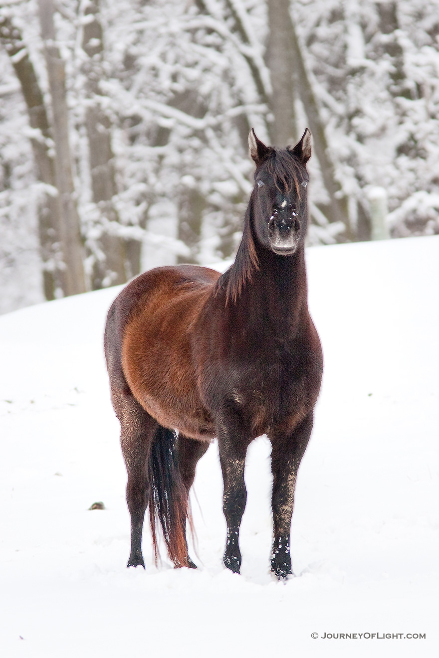 A horse weathers the cold snow at Mahoney State Park, Nebraska. - Mahoney SP Picture