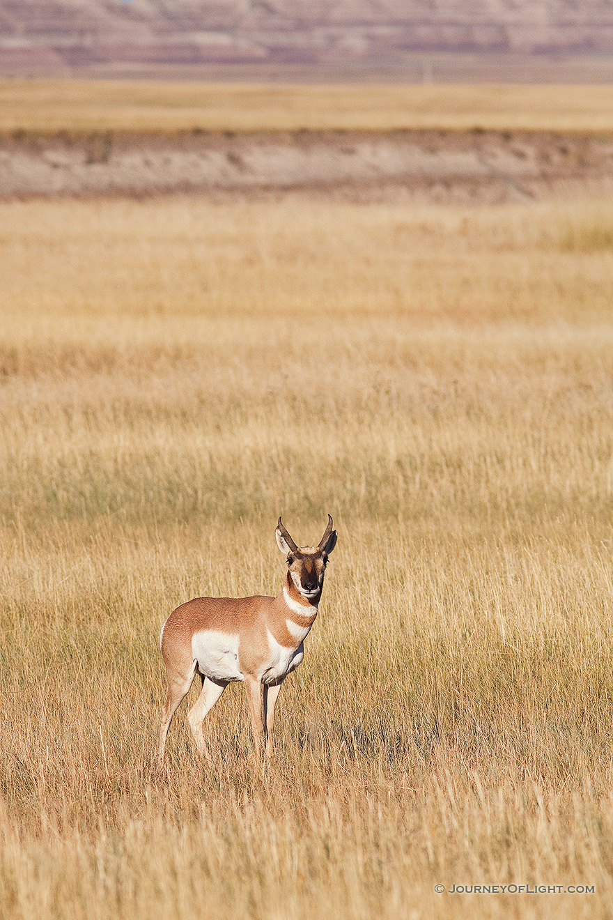 A pronghorn (american antelope) stops briefly on the vast prairie in the Badlands in South Dakota. - South Dakota Picture