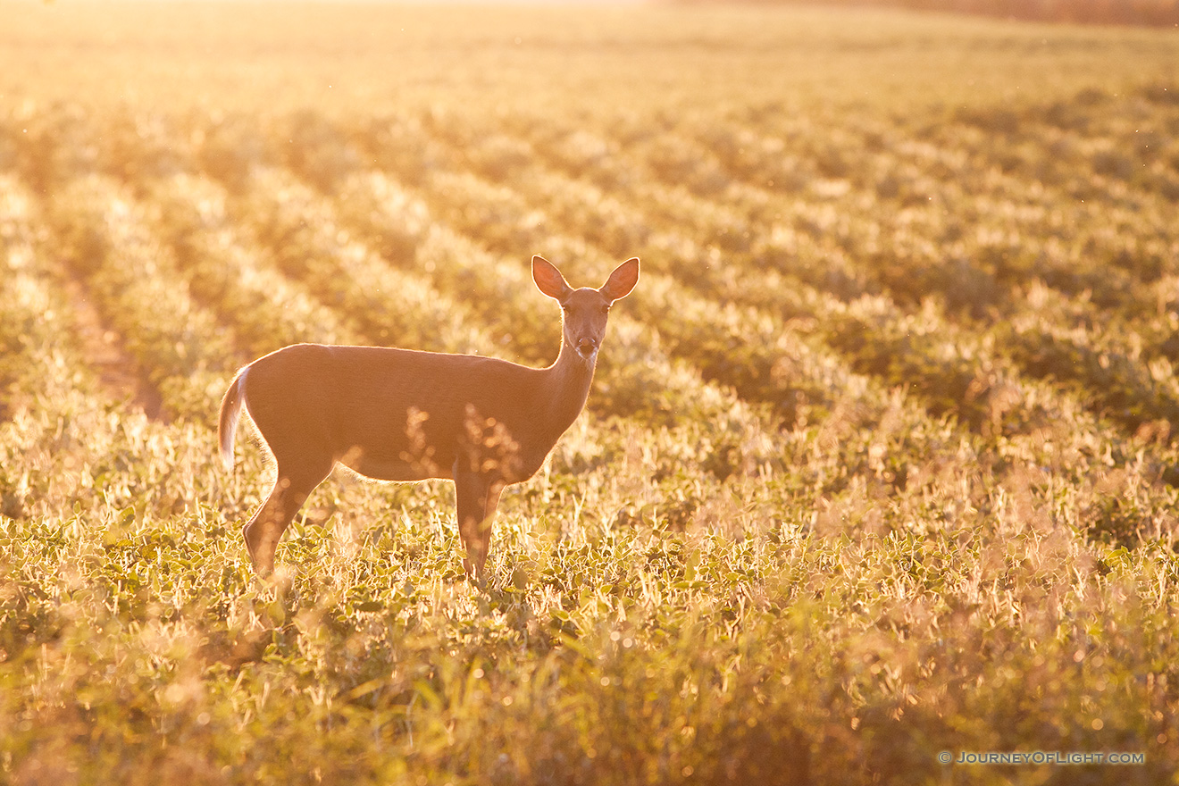 A deer stops briefly in the late afternoon sun at DeSoto National Wildlife Refuge. - DeSoto Picture