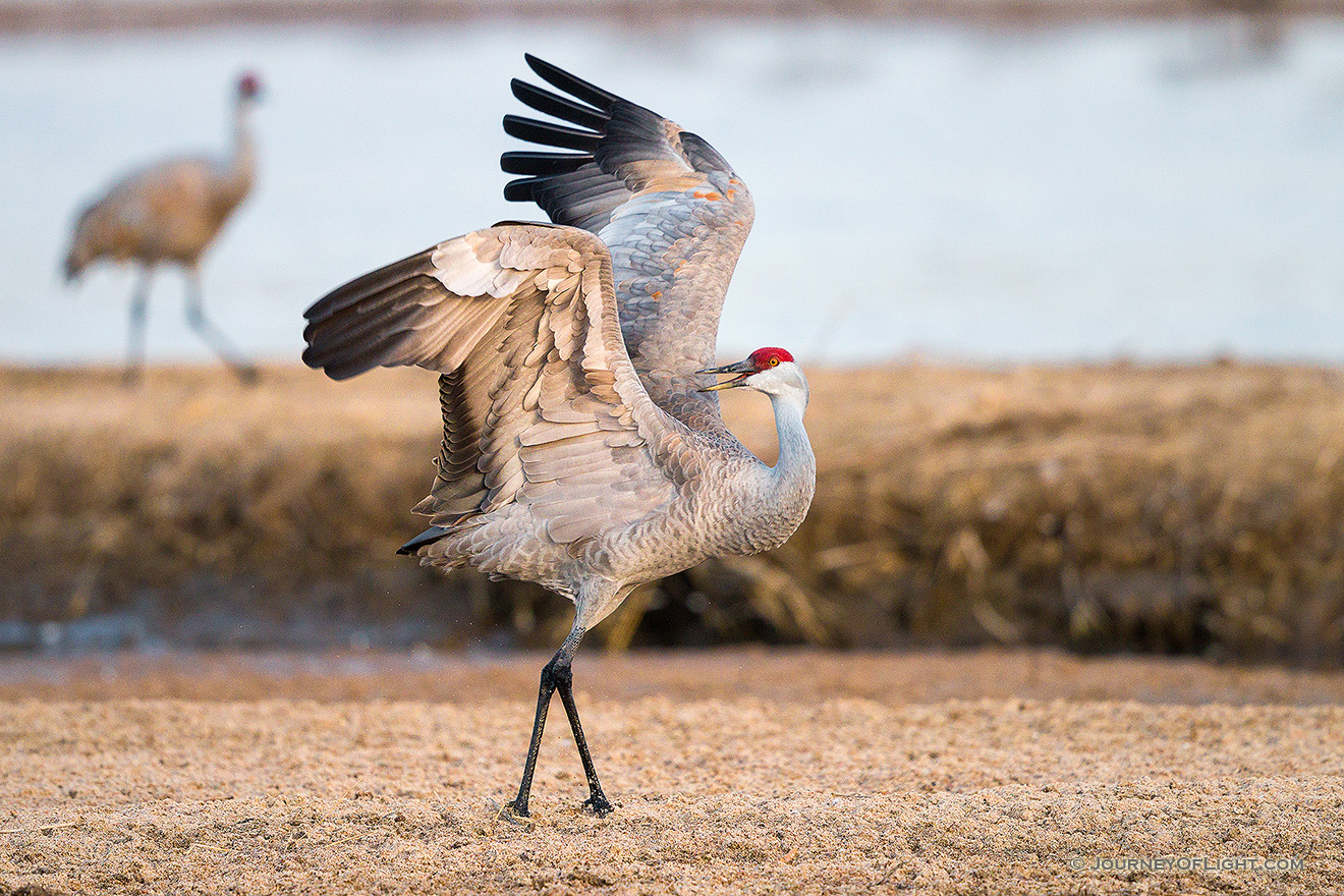 A Sandhill Crane displays on the Platte River in Central Nebraska. - Nebraska,Wildlife Picture
