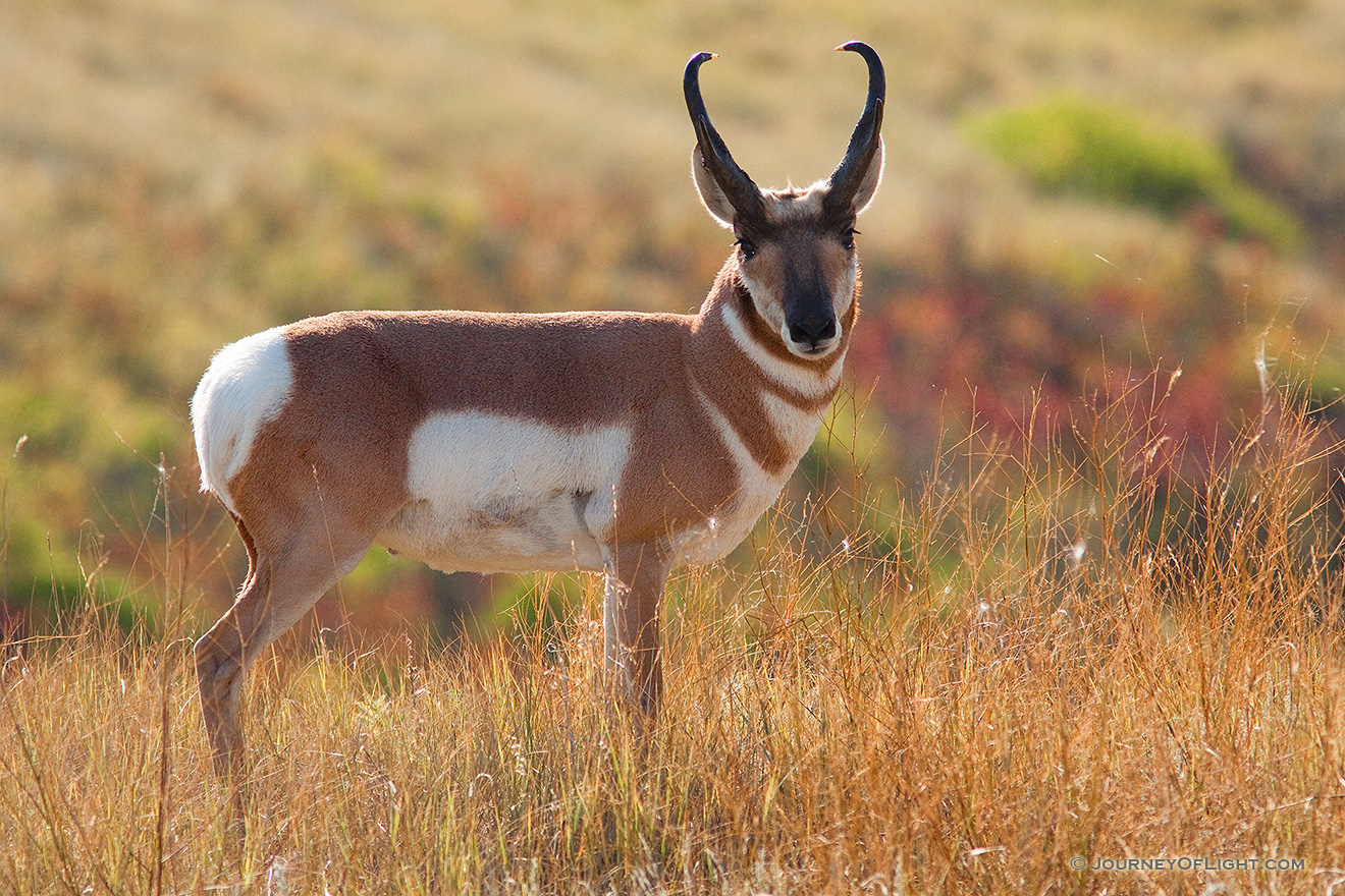 A photograph of a pronghorn in Custer State Park, South Dakota in the Autumn.