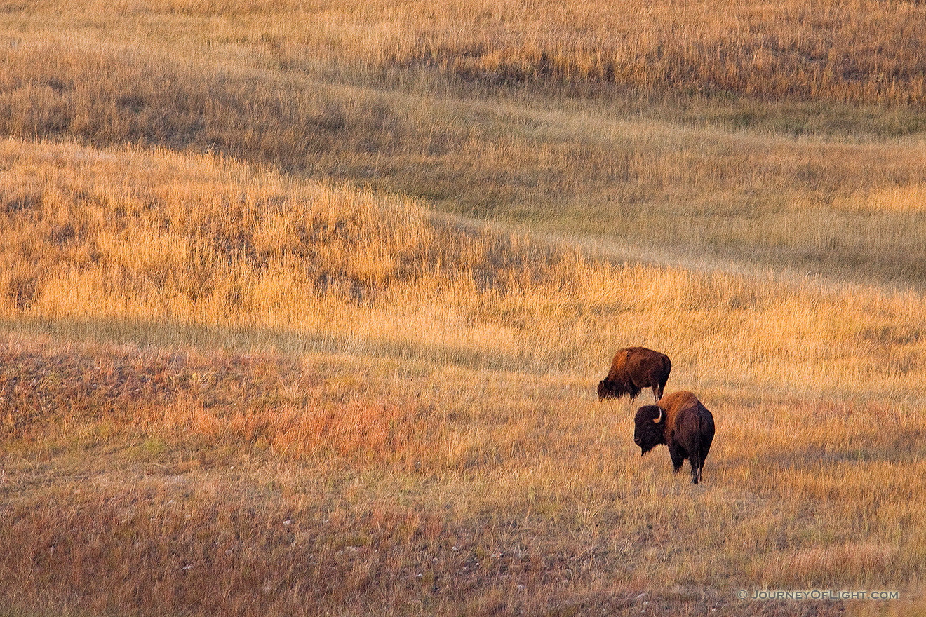 Two Buffalo and the rolling hills of Wind Cave National Park in South Dakota. - South Dakota Picture