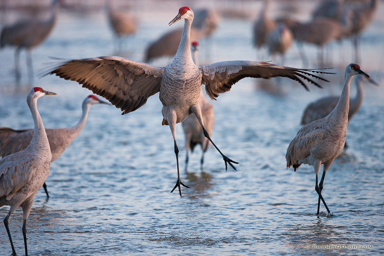 A graceful Sandhill Crane dances to impress potential mates, to establish territorial claims or to confirm potentially decades long bonding.  Sandhill Cranes mate for life and the dancing is all part of the ritual. - Sandhill Cranes Picture