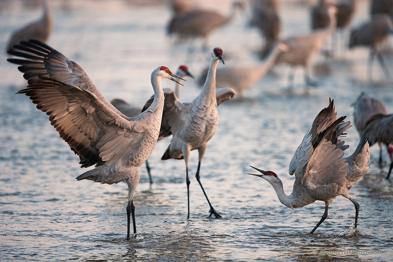 Two Sandhill Cranes Dance on the Platte River in central Nebraska on a cool April dawn. - Sandhill Cranes Picture