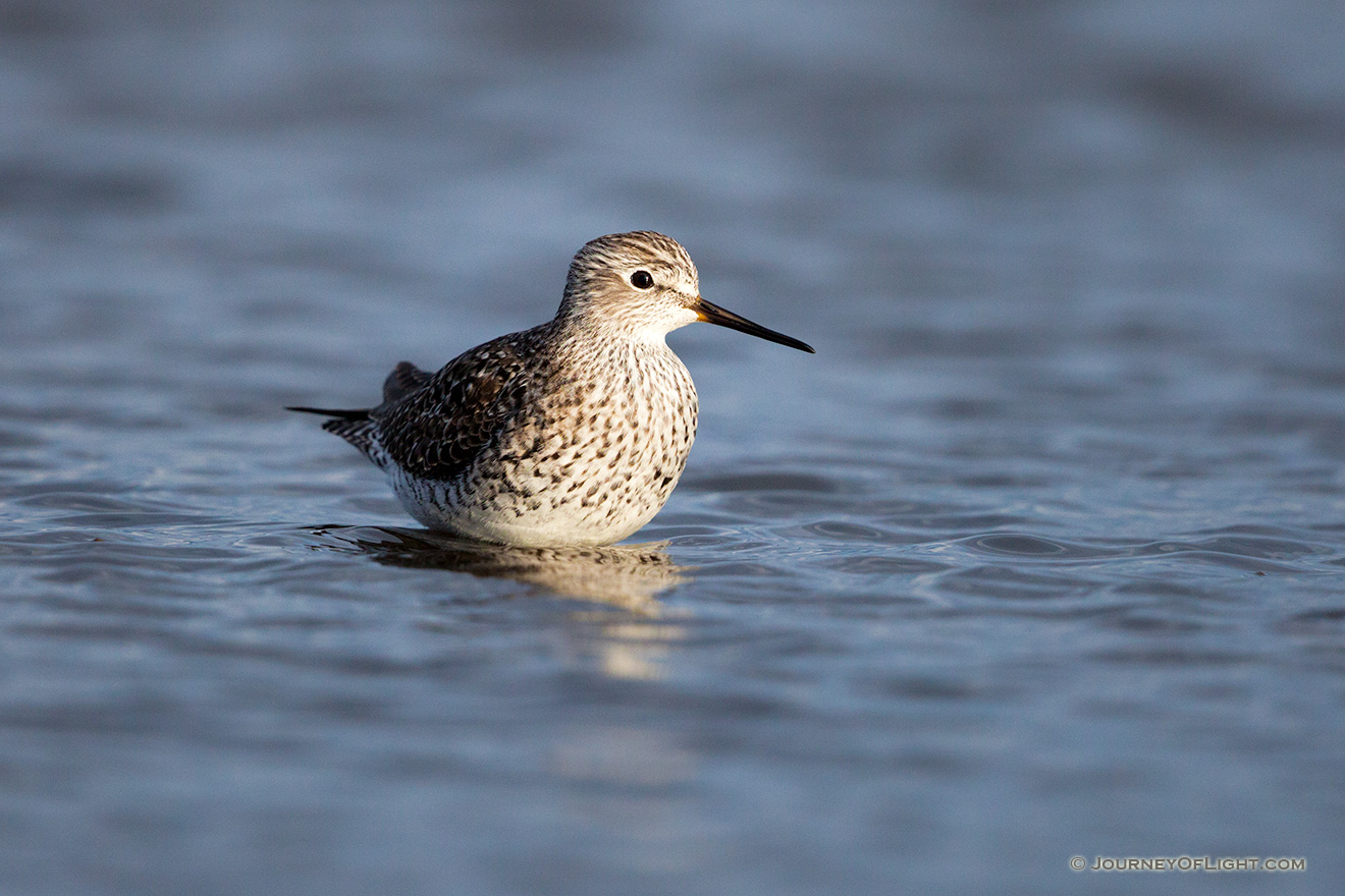 A wildlife photograph of a yellowlegs wading in a Marsh in eastern Nebraska. - Nebraska Picture